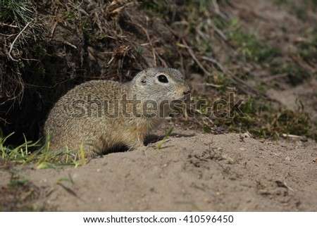 European ground squirrel (Spermophilus citellus) peeks from the burrow.