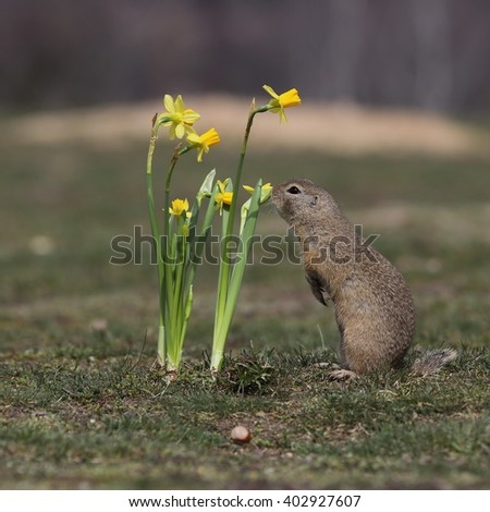 European ground squirrel (Spermophilus citellus) sniffs a flower (yellow narcissus).