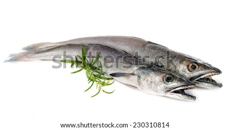 European hake in front of white background - stock photo
