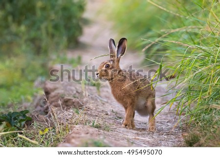 European Hare also known as Brown Hare (Lepus europaeus)  standing alert on a path, against a blurred countryside background, East Yorkshire, UK