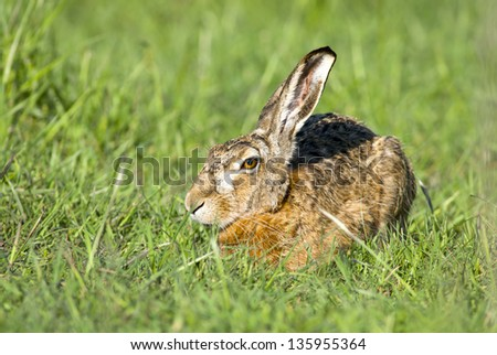 European hare - Lepus europaeus - stock photo