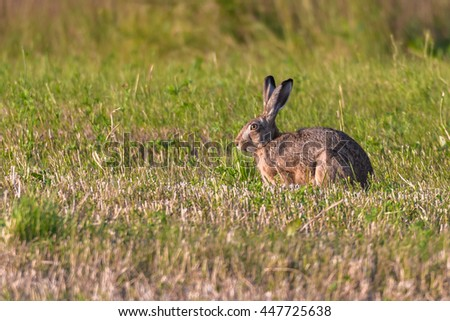 European hare (Lepus europaeus) on a green meadow