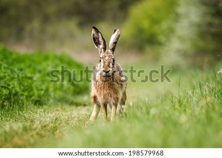 European hare (Lepus europaeus) on the green field  - stock photo