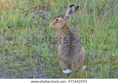 European hare on a meadow