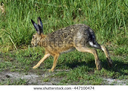 European hare  running over a meadow - stock photo