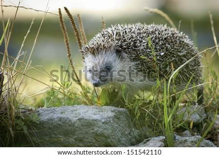 European hedgehog - stock photo