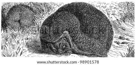 """European Hedgehog,  Common hedgehog or just Hedgehog - Erinaceus europaeus - an illustration to article """"Insectivore"""" of the encyclopedia publishers Education, St. Petersburg, Russian Empire, 1896 - stock photo"""