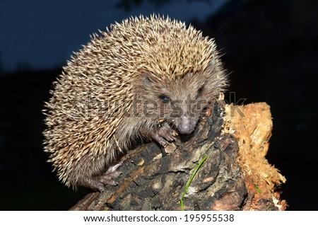European hedgehog, Erinaceus concolor - stock photo