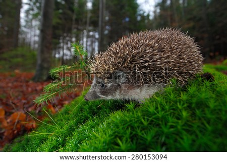 European Hedgehog, Erinaceus europaeus, on a green moss at the forest, photo with wide angle