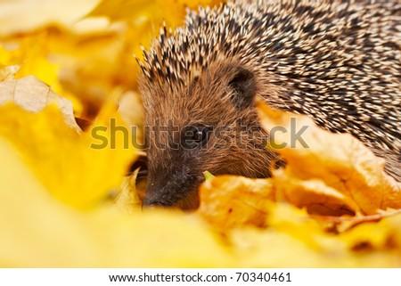 European hedgehog in maple leafs - stock photo