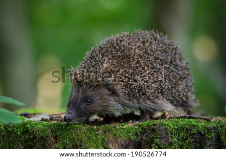 European hedgehog in the forest