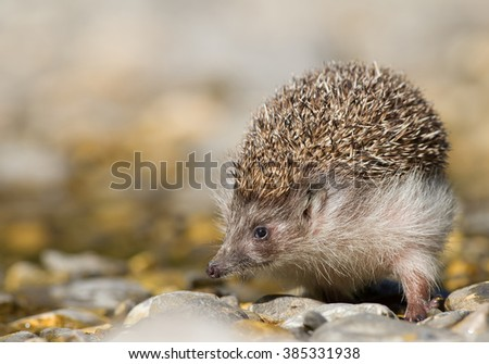 European hedgehog looking for food, clean background, Slovakia, Europe