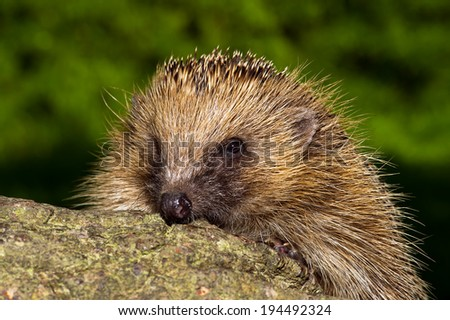 European Hedgehog on large log against a blurred foliage background/Hedgehog/European Hedgehog (erinaceus europaeus)