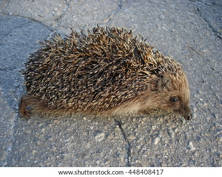 European hedgehog on the pavement.