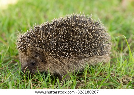 European hedgehog; Somewhere in Poland