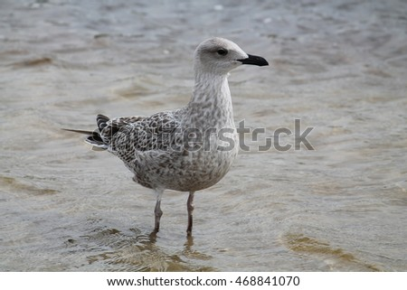 European herring gull. Juvenile herring gull