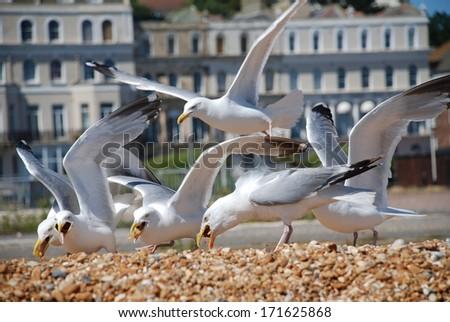 European Herring Gulls (Larus Argentatus) scavenging chips on the beach at Folkestone in Kent, England. - stock photo