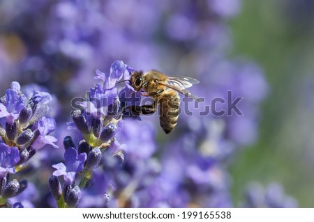 European honey bee( Apis mellifera) on a lavender flower - stock photo