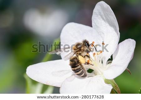 European honey bee( Apis mellifera) on apple tree flower - stock photo