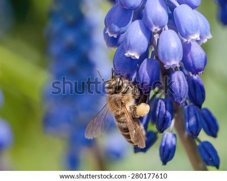 European honey bee( Apis mellifera) on muscari armeniacum flower - stock photo