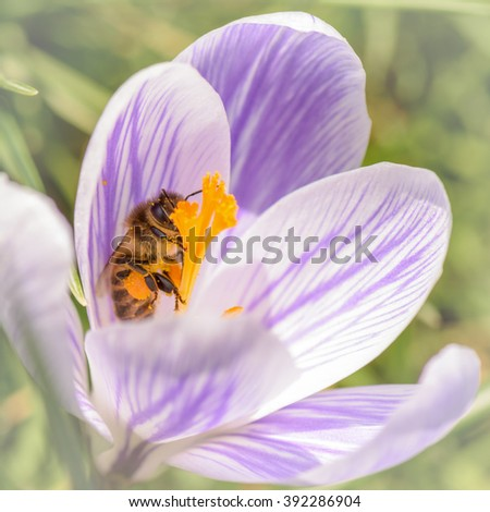 European honey bee( Apis mellifera) trying to get in to crocus flower - stock photo