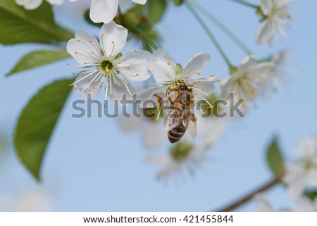 European honey bee trying to get in to apple blossoms