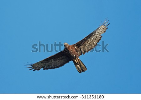 European Honey Buzzard (Pernis apivorus) in flight with blue skies in ths background