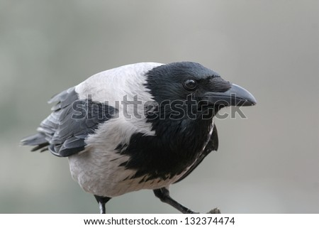 European Hooded crow, close-up - stock photo