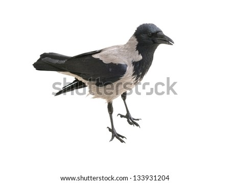 European  Hooded Crow, isolated on white - stock photo