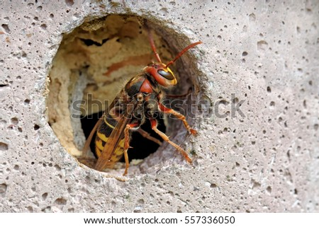 European hornet in a nest box
