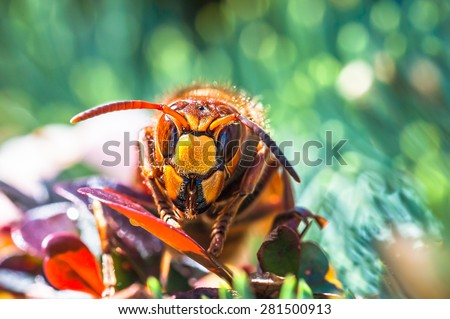 European hornet on berberis plant