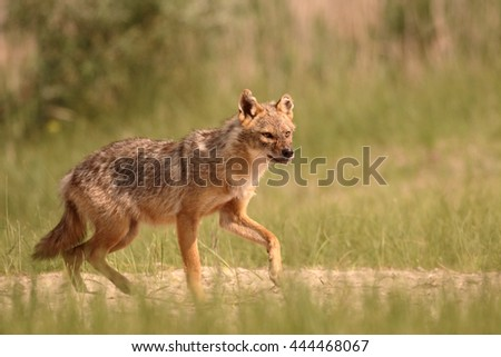 European jackal, Canis aureus moreoticus, Single mammal on grass, Romania, June 2016