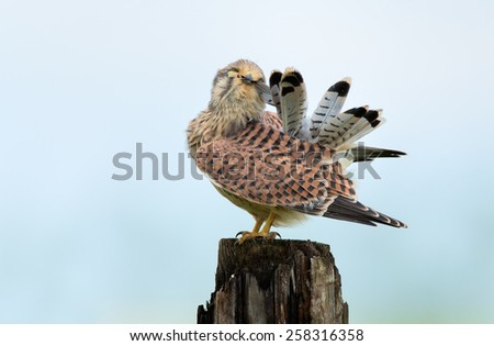 European juvenile Kestrel polishes the feathers - stock photo