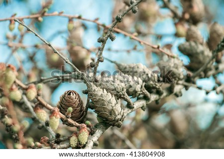 European larch (Larix decidua) cones in spring time under bright sun. Larch's blooming close up. Beautiful pine tree and cones on branch on blue sky background. Beginning to bloom. Place for your text - stock photo