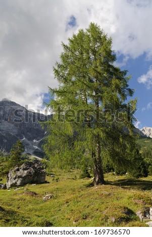 European larch (Larix decidua) on alpine pasture, mountain Hochkonig, Salzburg, Austria - stock photo
