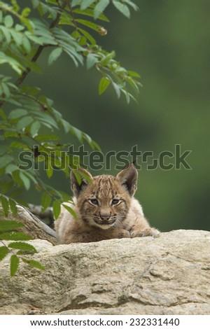 European Lynx cub - stock photo