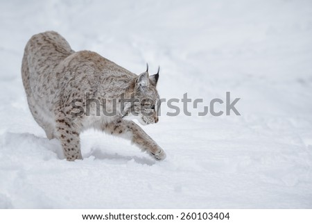 European lynx in snow - stock photo