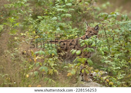 European Lynx in the forest