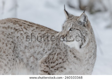European lynx in winter looking over his shoulder - stock photo
