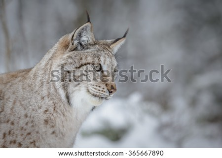 European lynx isolated with a forest background in winter - stock photo