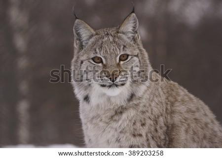 European lynx portrait in winter .Skandinawia. Norway. - stock photo