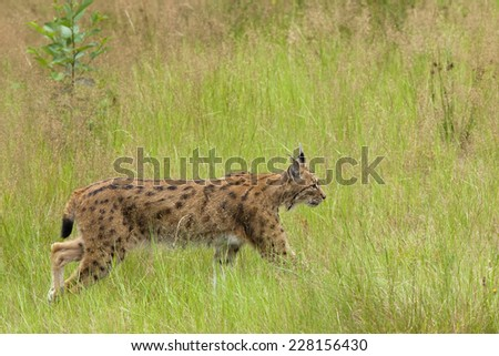European Lynx walking in tall grass - stock photo