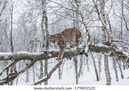 European Lynx walking on a snowy tree - stock photo