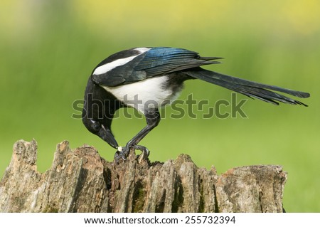European Magpie (pica pica) feeding on a rotten tree stump covered in moss