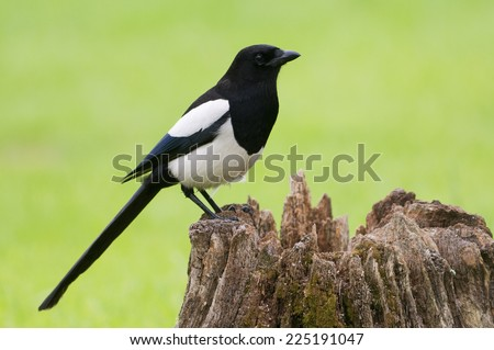 European Magpie (pica pica) perched on a rotten tree stump
