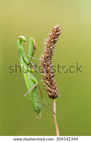 European mantis - stock photo