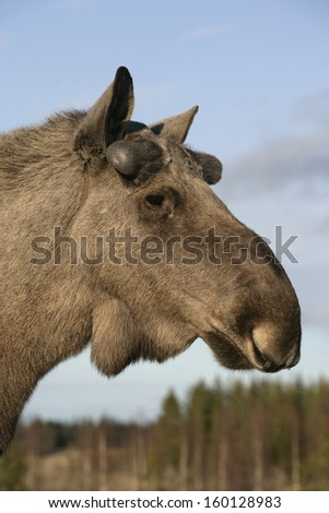 European moose, Alces alces machlis, single mammal close up of head, Sweden