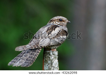 European nightjar - stock photo