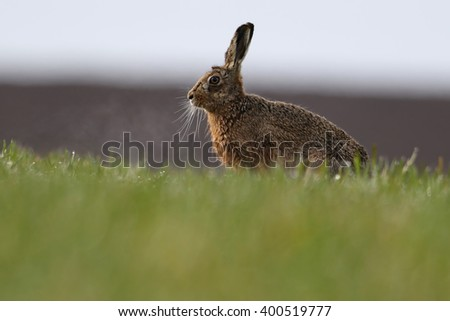 European or Brown Hares (Lepus europaeus). On farmers dew soaked field.
