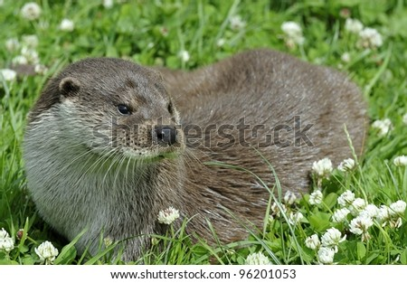 European Otter - stock photo